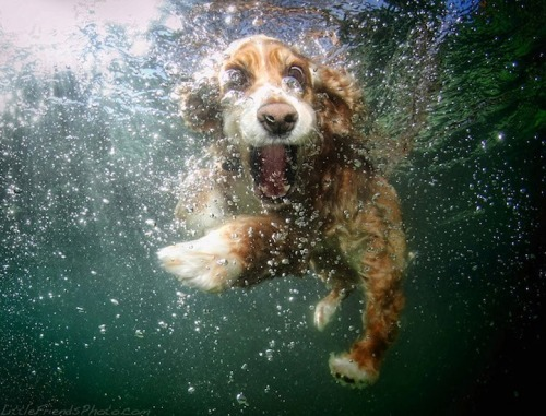 kleinmeli:  Underwater Dogs by Seth Casteel!
