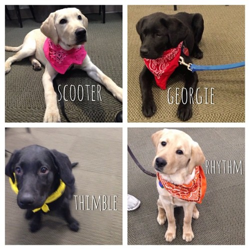 "The #GuidingEyes #Puppy Middle School class starts to learn ""Get Dressed"" by trying on bandanas - someday they'll be able to get into the harnesses they wear when guiding a person with impaired vision."