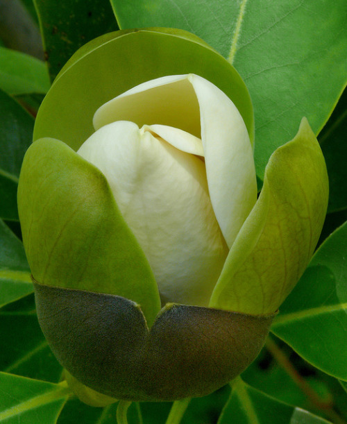 snowonredearth:  Magnolia tamaulipana #4 by J.G. in S.F. on Flickr.