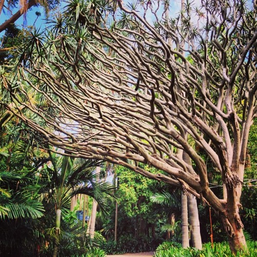 Dragons Blood tree #sydney #gardens #flora (at Royal Botanic Gardens)