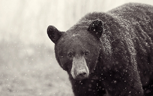 theicekingdom:  Snow Bear 3 by Dan Newcomb Photography on Flickr.  I luv bears!!!(: