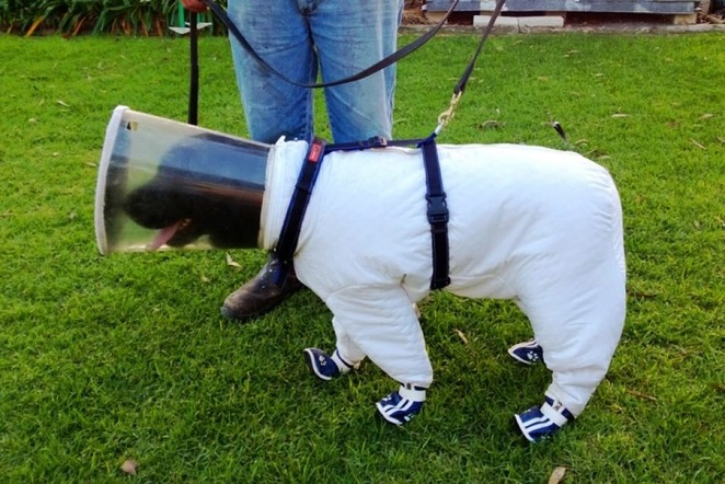 "Beekeeping dog in 'astronaut' suit detects infected hives by smell ""Bazz [is] a black labrador that beekeeper Josh Kennett has trained to detect by smell a serious bee disease called American foulbrood. The Paenibacillus larvae caused by the infection are usually only visible under high-magnification microscope, but thanks to Bazz, that's not necessary."""
