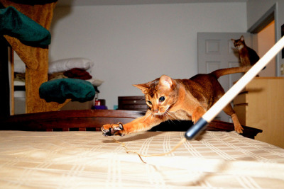 Abyssinian Action by MorboKat on Flickr. I must have an Abyssinian. I must.
