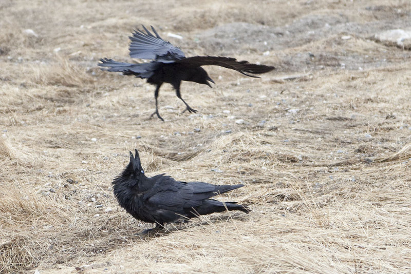 iheartcrows:  (via Raven being harrassed by crow photo - Paul Lantz )  Just minding your own business and getting harassed by a smaller cousin.