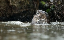 Two juvenile otters play-fight in a river in Norfolk. Picture: Luke Massey / Rex Features