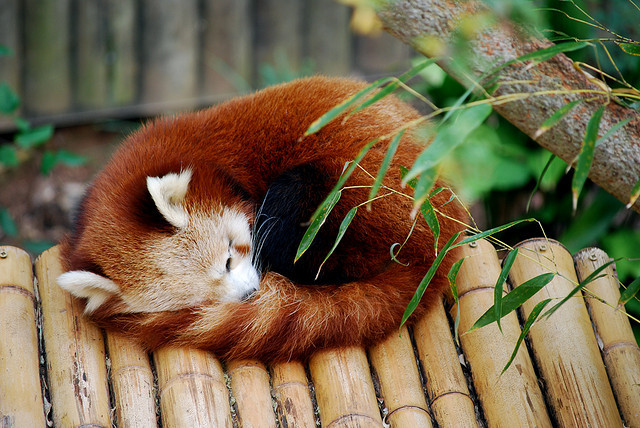 silentmu:  Red Panda by Tim.Walker on Flickr.