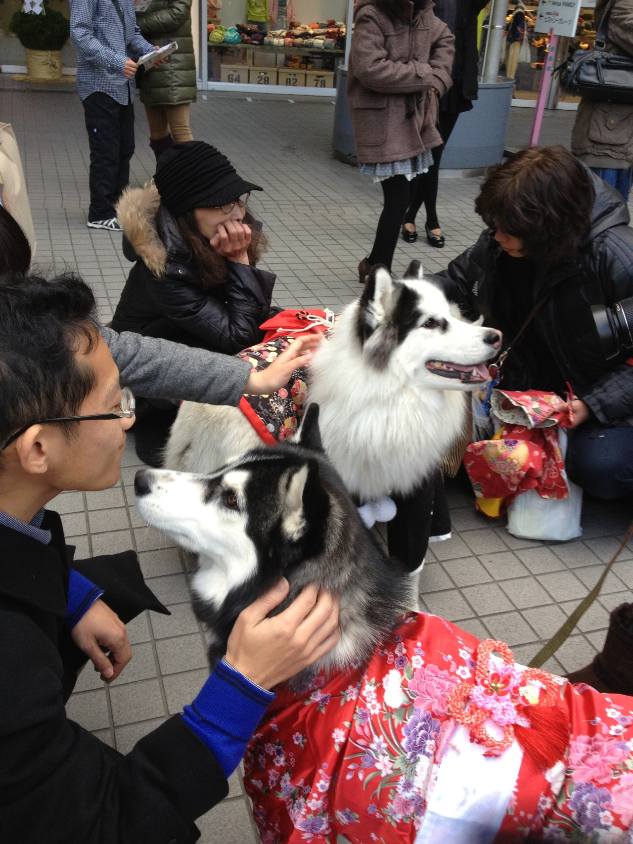 candidcantrix:  So, I was out in Odaiba with my parents during New Year, and we came across this big group of dogs dressed up in kimono for the occasion. Unfortunately we just missed the part where they were all lined up for photos, but I knew there was at least one person on my dash who'd appreciate pictures of Japanese dogs in formalwear, so I took lots of photos anyway :)