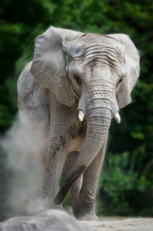 animalkingd0m:  Young Elephant by Justin Lo