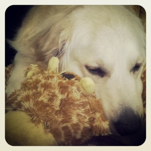 Soooo cuuuute! #goldenretriever #puppy #pillowpets #goldensoninstagram