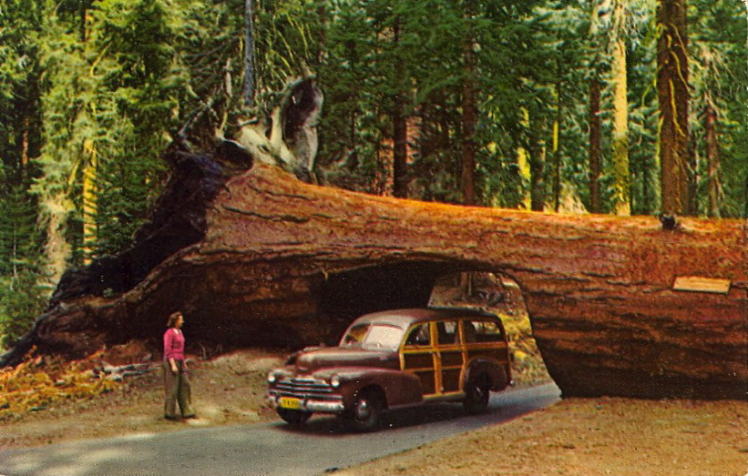 DRIVE THRU  TUNNEL TREE Sequoia Park, Calif. This fallen Sequoia is so huge that the road to Crescent Meadow, Giant Forest, was cut right through the prostrate trunk.