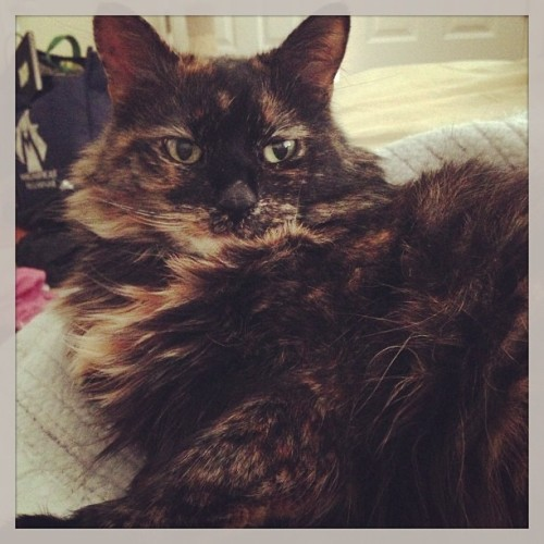 Love waking up next to this furball. #catsofinstagram #cat #tortie