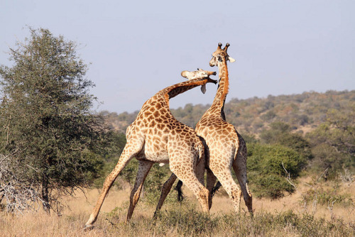 Giraffe sparring - Kruger National Park by Impisi on Flickr.