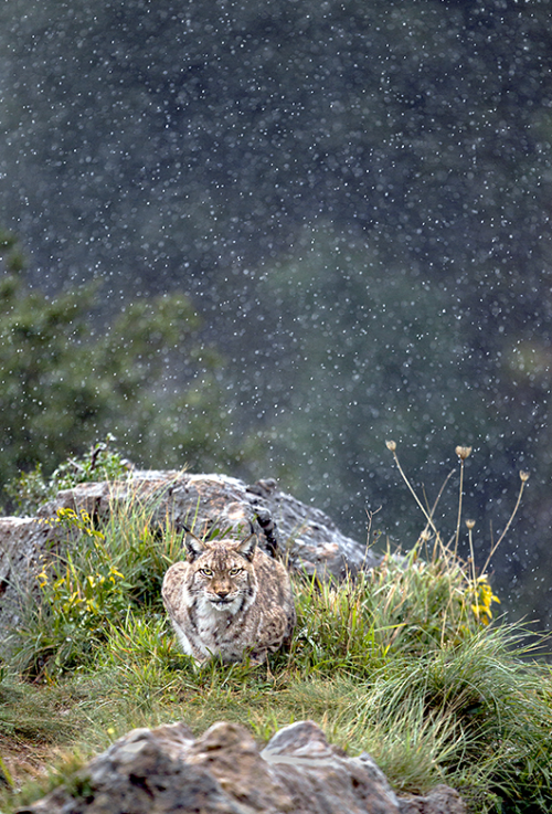 ecocides:  Lynx in the rain - Cabarceno Wildlife Park, Northern Spain | image by Marina Cano