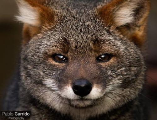 darwins fox tumblr