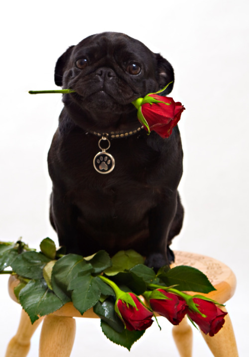 mugsofpugs:  Happy Pug-entine's Day! Go get yourself some sloppy pug kisses! finneganpigdog:  Pug & Roses