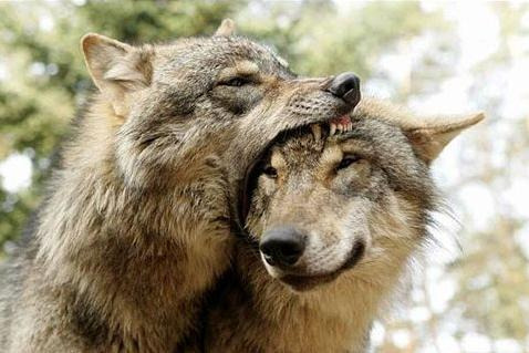 wolfsummer:  nom  ill eat u up i luv u so