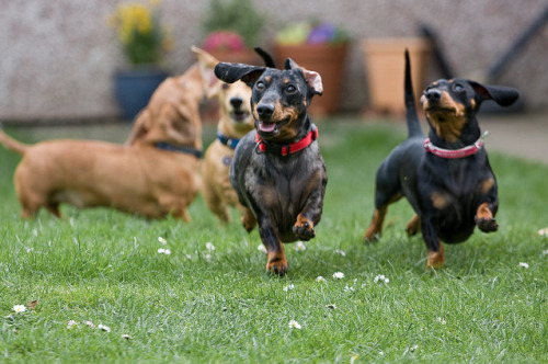 hounddogsrunning:  Stampede by Paul Beale Photography