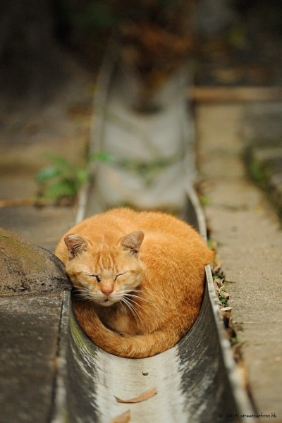 Ginger pops!    llbwwb:  (via 500px / Street Cat in Hong Kong by Micros Yip)