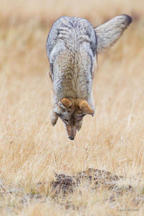 magicalnaturetour:  High Flying Coyote by Ken Archer