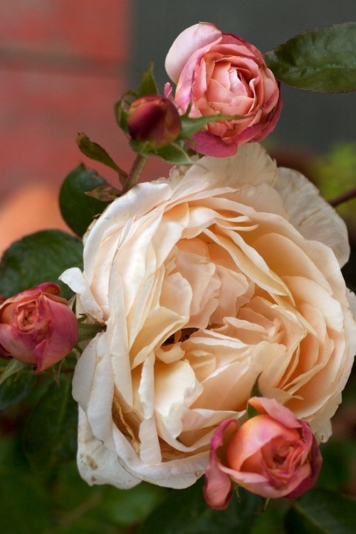 flowersgardenlove:  Heirloom roses Flowers Garden Love