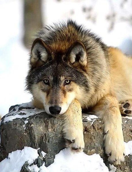 """It's a sad time for those who watch and follow the wolves in Yellowstone. The most famous wolf in the world has been shot! The '06 Female of the Lamar Canyon Pack is dead. She was shot by a hunter sixteen miles outside the park.""  (via Wolf Spirit)"