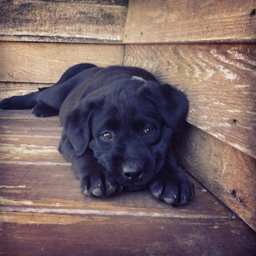 slutsneverdie:  labs > any other doggie