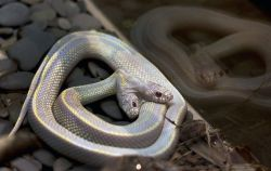 bleedgold:  Not only does this California Kingsnake at the Moscow Zoo have two heads, it's also an albino. Zoo officials say two-headed snakes are a one-in-a-million occurrence and usually don't survive in the wild.