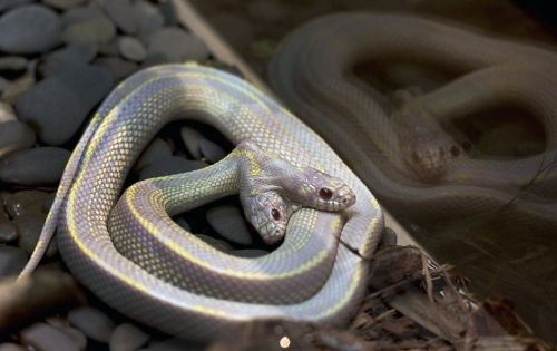 allcreatures:   Not only does this California Kingsnake at the Moscow Zoo have two heads, it's also an albino. Zoo officials say two-headed snakes are a one-in-a-million occurrence and usually don't survive in the wild.  PHOTO BY KATYA ABRAMKINA/AFP/GETTY IMAGES (via SF Gate)