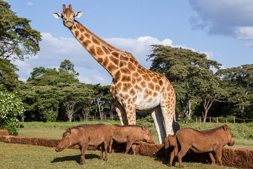 funnywildlife:  Guests at Giraffe Manor by Hector16 on Flickr.The tall gentleman is a Rothschild Giraffe. Giraffe Manor started in order to breed and help the recovery of this endangered species. The most visual differences from these giraffes to other giraffes in Kenya is that they have more creamy channel between the patterns than the Reticulated Giraffe and the patches themselves are more orange brown and less jagged than the Massai Giraffe. The shorter guests are not endangered, but just as pleasant!