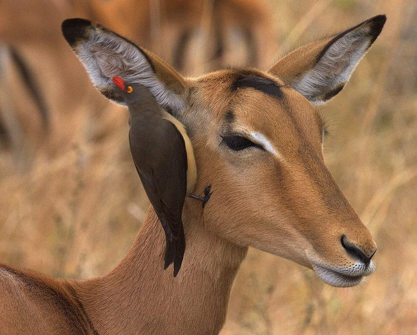 llbwwb:   Red-billed Oxpecker (Buphagus erythrorhynchus) on an Impala, Botswana, Africa,by Bigbird.