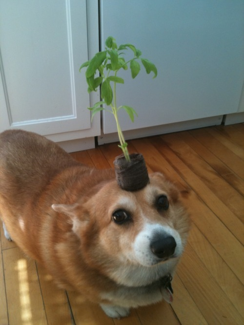 stevedogarty:  dog holds plant on head