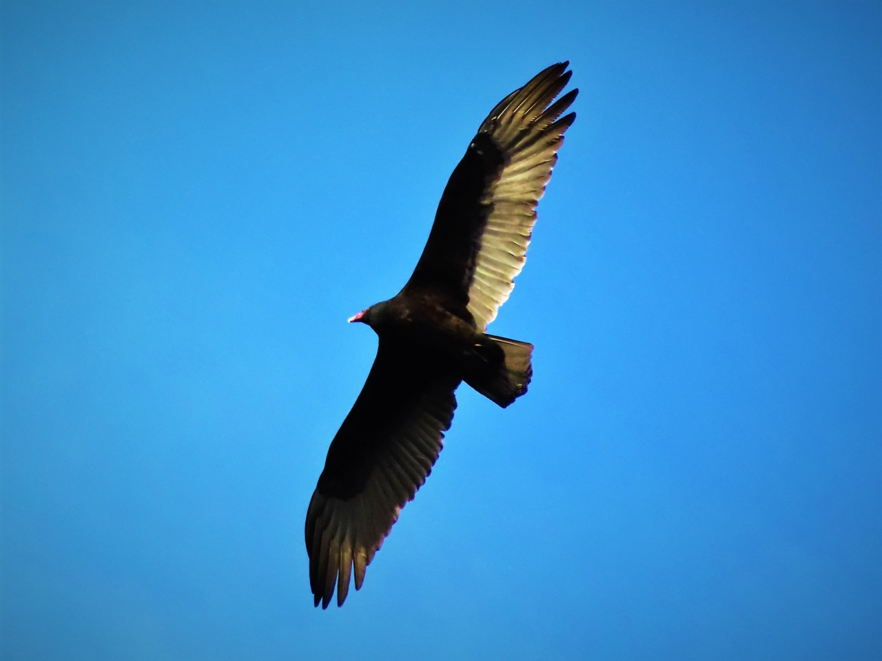 It's tough to get a good picture of a Turkey Vulture when they're riding the thermals overhead, but this is one of the clearer ones I've gotten. I really love them, from a distance anyway ^^> #turkey vulture#birds#birdwatching#nature#photography #Taken December 30th 2020  #Posting this in honor of the resident vulture who BIT ME yesterday  #she just straight up CHOMPED on me when I looked away for a moment