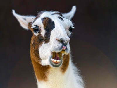 Funny white and brown llama (by Tambako the Jaguar)