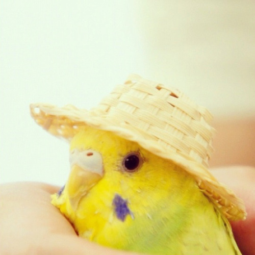 vilashiniv:  Budgie with hat.