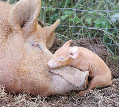 cherie-mon-cherie:  Did you know? Mother pigs build nests for their babies and have been known to sing to them.  #pig #animal #love