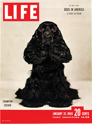 life:  On this day in LIFE magazine — January 31, 1949: Champion Cocker  this reminds me of my first dog, cosmo, or cozzy, or mr. mo or cozzy mo mo or sometimes dudley or whatever else we felt like calling him.
