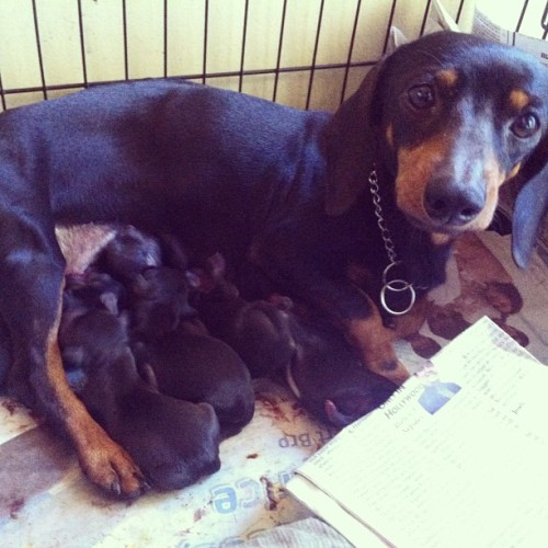 Good morning from Mama Pips and her SIX puppies!! ❤🐶 #dogs #puppies #cute #woof