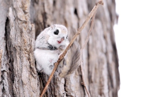 HOW IS A SERBIAN FLYING SQUIRREL EVEN A REAL ANIMAL???