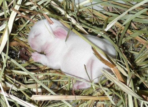 dailybunny:  Three-Day-Old Bunny Sleeps Soundly Thanks, Ildikó!