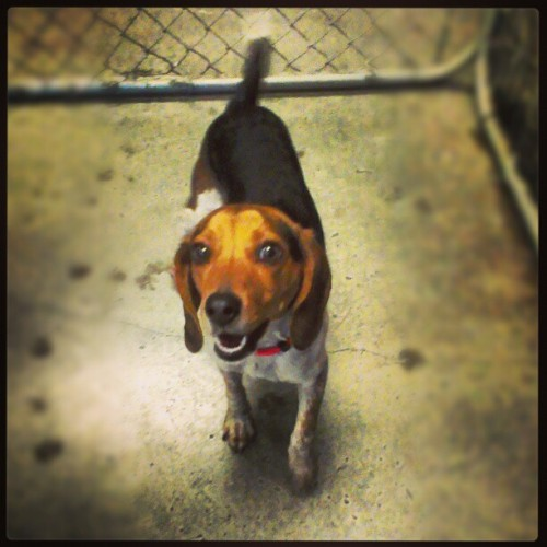 Molly :) #shelterdogs #beagle #purebred