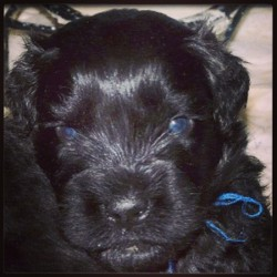 Black Russian Terrier puppy #squeee