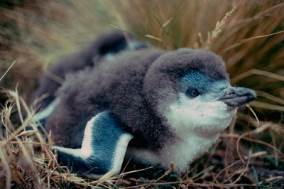 forestferncreations:  explosionsoflife:  The smallest of the penguins is the little blue penguin (Eudyptula minor). Unlike other penguins, it spends its days in the sea and typically comes on shore during the night. In areas where little blue penguins are common (southern Australia and New Zealand), great numbers of these birds can be seen coming ashore as night falls to avoid marine predators. However, even on land they are still at risk of being attacked by land mammals. Photo © Frank Todd  I CAN'T EVEN
