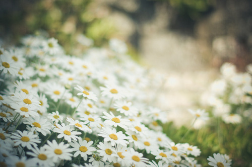 Pushing daisies by MMortAH on Flickr.