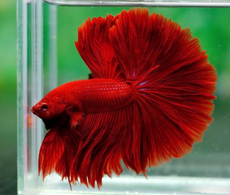 Betta fish facts tips blood red halfmoon betta fish for Red betta fish