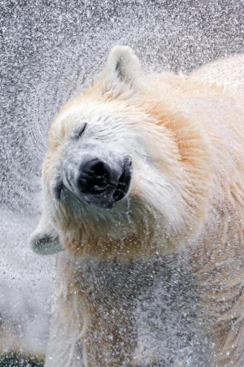 "ec0system:   Shaking polar bear IV | by Tambako the Jaguar  Shake it like a ""polar""oid ;)"