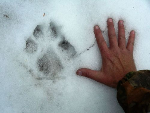 A wolf's paw is so large it is larger than a human's palm.  If you've ever made a fist and pressed it into the snow to make a wolf's (or dog's) paw, even a large male's hand will not be large enough.  However, the large paws serve another purpose; they're large enough so that wolves can step in snow without sinking completely, which helps them hunt, run, and play without injury, even in the snowiest winters.