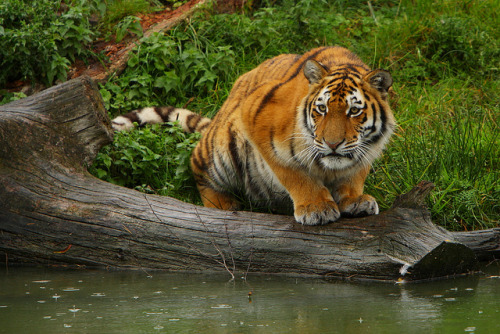 tigersareforever:  Tiger in the rain. by Jan Beima on Flickr.
