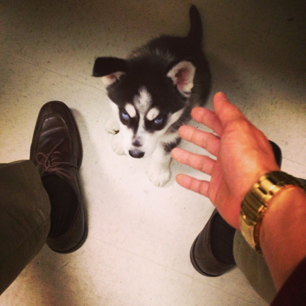 arf arf! my office is a zoo! 🐶 #husky #puppies #dogs #latergram #cute