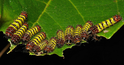 Chalcosiine Day-Flying Moth Caterpillars (Cyclosia midamia, Zygaenidae)   Adult moth…..  by Sinobug (itchydogimages) on Flickr. Pu'er, Yunnan, China  See more Chinese insects and spiders on my Flickr site HERE……