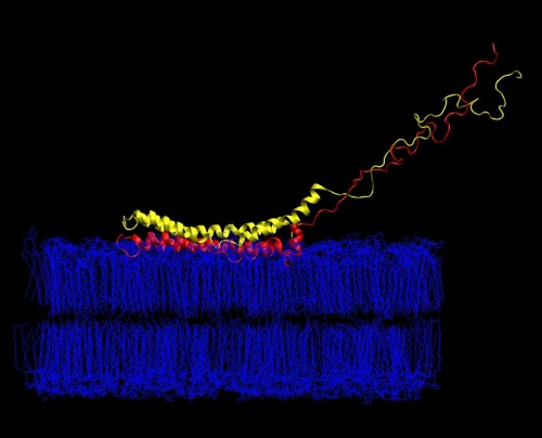 Start of penetration of alpha-synuclein to the membrane. Yellow is initial position; red is on the first stage of molecular dynamics simulations. Water molecules not shown.  Credit: Igor Tsigelny, San Diego Supercomputer Center, UC San Diego. Source (UC San Diego News Center)